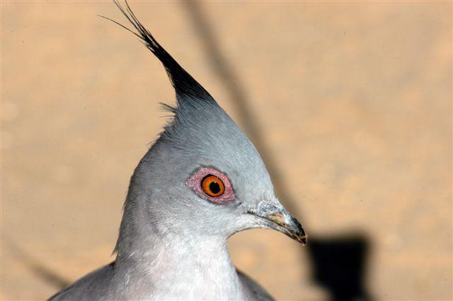 Spinifex Pigeon (Katararrtji)